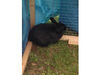 Lovely little black rabbit