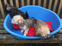 Bichon Brise X Yorkshire Terrier Puppies