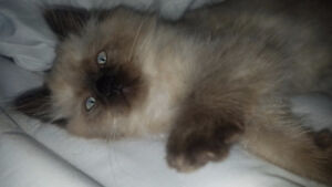 3 beautiful seal point male Himalayan  kittens for sale