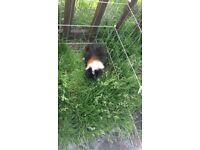 Male guinea pig tri colour