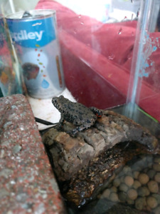 Fire belly toad with tank - for trade or make me an offer
