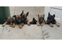 KNPV Dutch Herder / German Shepherd Puppy Litter