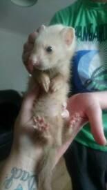 2 hob ferret kits for sale