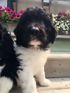 BEAUTIFUL NEWFIEDOODLES/NEWFYPOOS FOR SALE!!!
