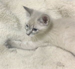 Ragdoll x siamese female kitten