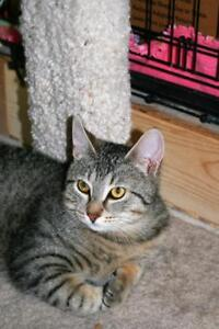 """Young Male Cat - Tabby: """"Kravitz"""""""