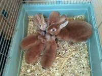 Orange Rex rabbits 9wks
