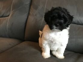 4 Beautiful Lhasa Poo Puppies, 1 boy and 3 girls
