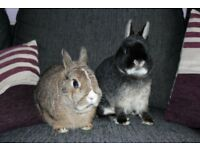 Neutered Bonded pair friendly young Netherland Dwarf Rabbits