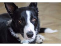 Border Collie 1 year old