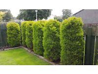 Leylandii trees for sale