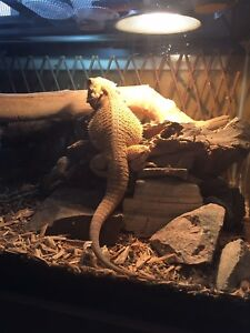 3 year old bearded dragon
