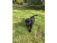 Labrador x Collie puppies for sale