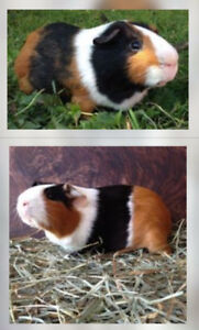 Adorable Tricolored Baby Guniea Pigs For Sale!