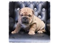Bullpei puppy for sale