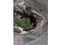 Synodontis Petricola Hybrids - Tropical Fish