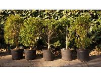 Box hegde plants 6 for £25