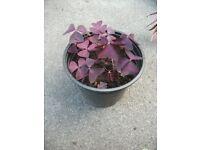 Plant False Shamrock
