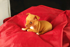CHIHUAHUA PUPS, TEACUP, READY NOW