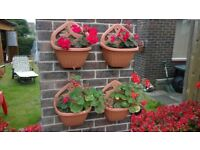 Begonia Wall Plants
