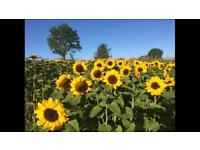 Freshly Picked Sunflowers