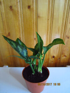 Chinese Evergreen Variegated - Air Cleaning House Plant
