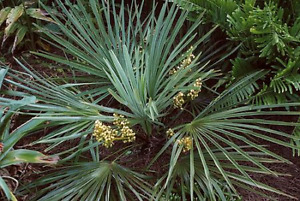 Canada's Hardiest Palm Trees - windmill Palm varieties