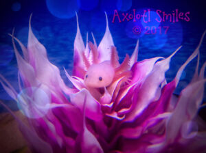 Axolotls disponibles maintenant.