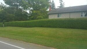 "WHITE CEDAR HEDGES FOR SALE REMOVED AND INSTALLED ""SUMMER BOOKIN"