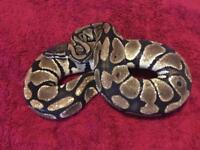Royal Python plus Vivarium