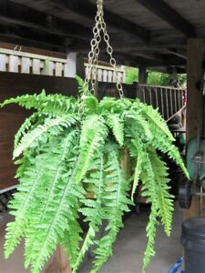 ARTIFICIAL FERN IN SOLID BRASS PLANT HANGNER