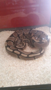 4 1/2 ft ball python  with 4ft cage