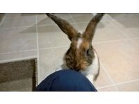 1 year old Male Rabbit