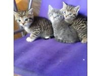 2 bengal x kittens for sale