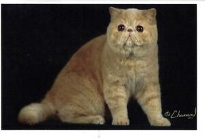 EXOTIC SHORTHAIR AND LONGHAIR (PERSIAN) KITTENS FOR SALE