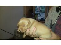 fox red male labrador puppies for sale