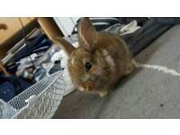 8 week rabbit female