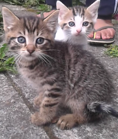 2 tabby male kittens