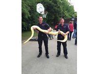 12ft albino female Burmese python