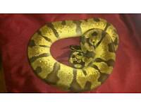 Male super enchi pastel royal python for sale.