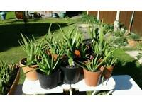 ALOE VERA PLANTS. GOING FAST!!! Your own Pharmacy in one fabulous plant. £5 to £15 NO TEXTS PLEASE