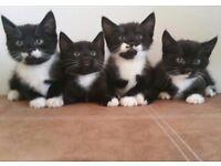 Girl kitten. brownie black girl 8weeks today
