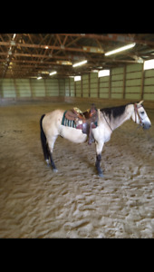 6 year old registered QH gelding for sale