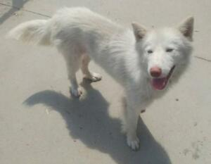"Young Female Dog - Husky-Retriever: ""Possum"""
