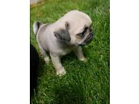Good as Pugs!! Must see!! Ready now!!