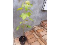 Sycamore tree sapling