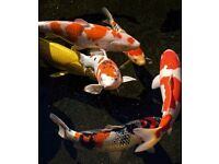 10-12 inch size Koi Carp for sale. ONLY £35 !!!