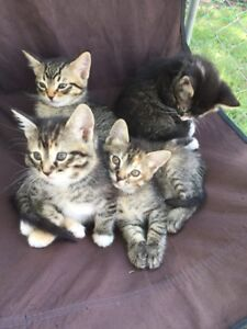 4 Fantastic and Sweet Kittens for Sale