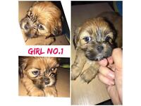 3 LHASA PUPS READY TO LEAVE NOW