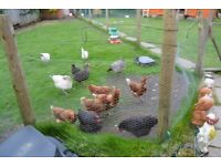 6 Laying Hens for sale. £6 each or all 6 for £30.